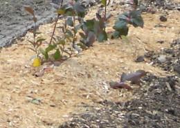 Berry Sawdust & Mulch