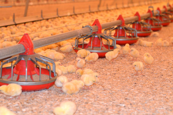 Poultry Bedding