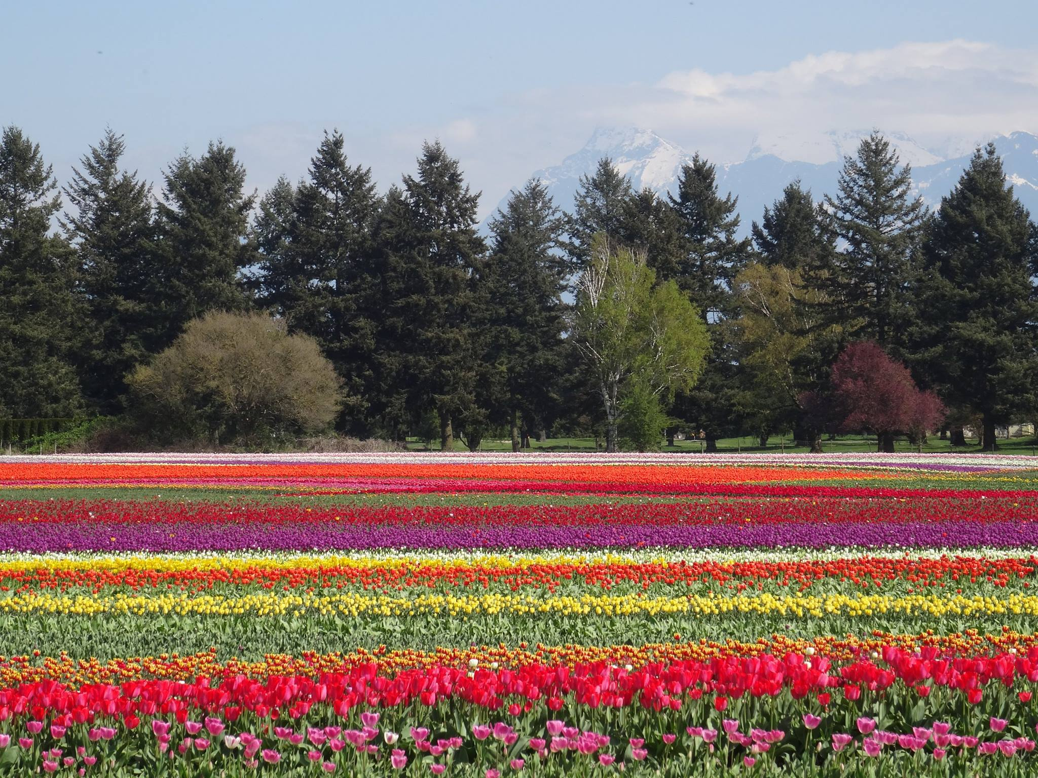 Fraser Valley Tulips - Anne Vanderhiede