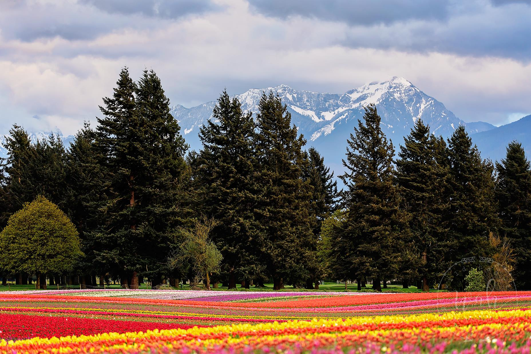 Fraser Valley Tulips - Elsie Rogers