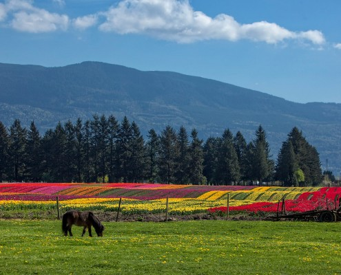 Fraser Valley Tulips - Ian Meissner