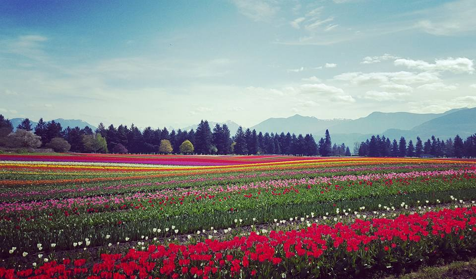 Fraser Valley Tulips -Viviana Lucian Chlorean