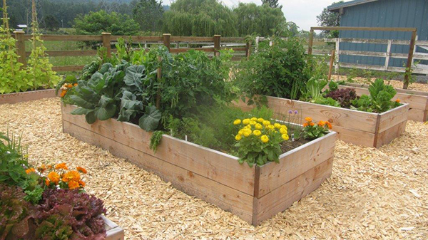 Raised Garden Beds separated by wood chips