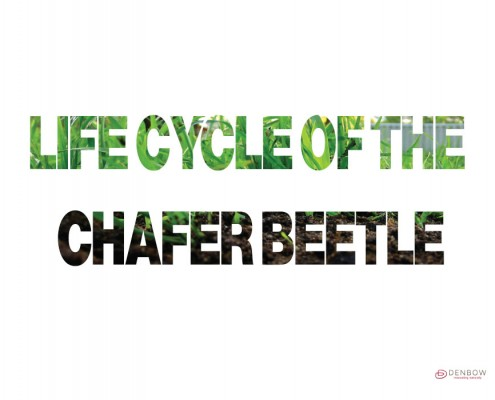LIFE-CYCLE-CHAFER