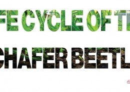 life-cycle-of-the-chafer-beetle-feature-image-1-26-o