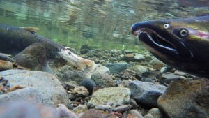 Salmon swimming up a river